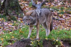 coywolves the incredibly adaptable hybrid that u0027s adjusted to both