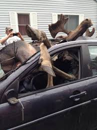 carnage after moose hits car in head on collision revealed in