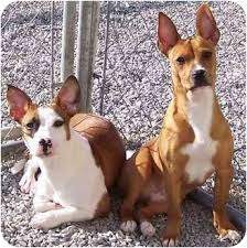 boxer dog for adoption raider u0026 bandit adopted dog calhoun ky jack russell terrier
