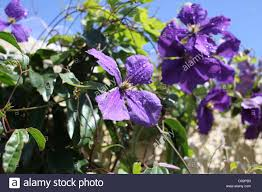 up of clematis beautiful purple flowers an ornamental
