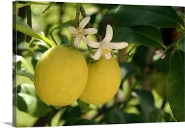 flowers and fruit flowers and fruit on lemon tree citrus limon wall canvas