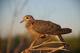 Oklahoma birds images Dove migratory game birds oklahoma department of wildlife jpg