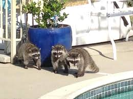 young raccoons in san ramon have a pool party u2013 the mercury news
