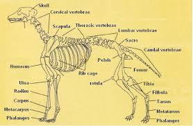 Dog Body Parts Anatomy Basic Notions Of Dog Anatomy