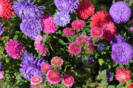free images nature bloom bush bouquet blue pink flower bed