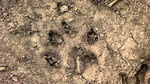 animal tracks in mud dog wolf cougar please help to identify