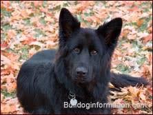belgian shepherd timberwolf shepherd dogs and wolf like dogs