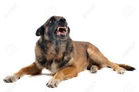 belgian sheepdog guard dog purebred belgian sheepdog malinois angry in front of white