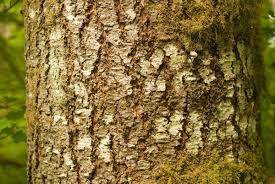 oregon native plants douglas fir oregon native plants