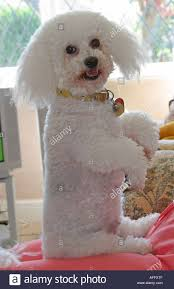 poodle x bichon frise bichon stock photos u0026 bichon stock images alamy