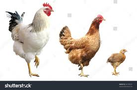 funny rooster hen chicken isolated standing stock photo 34197814