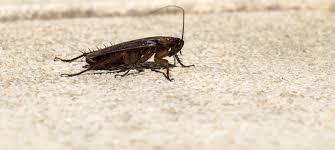How Often Do Bed Bugs Reproduce How Do Cockroaches Reproduce Terminix