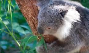 koalas drink water u2014and reason tragic