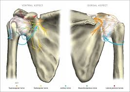 Innervation Of Supraspinatus How I Do It Ultrasound Guided Combined Suprascapular And Axillary