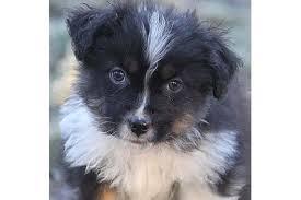 australian shepherd welpen 6 monate australian shepherd in osterrönfeld hunde kaufen u0026 verkaufen