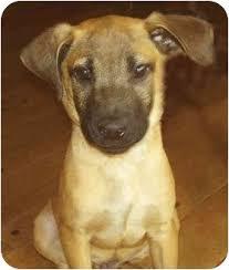 belgian sheepdog california jimmy adopted puppy vista ca belgian shepherd rhodesian