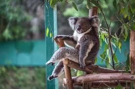 Koala Meme - fancy koala imgur