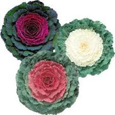 ornamental kale seeds grow ornamental kale harris seeds