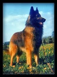 belgian shepherd national specialty 15 best belgian tervuren images on pinterest belgian shepherd