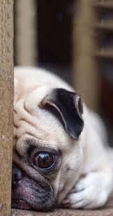 best 25 fat pug ideas on pinterest pug puppies cute baby pugs