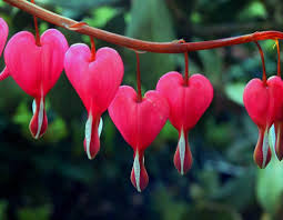 bleeding heart flower bleeding hearts pagans witches amino