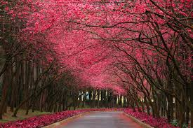 pink flower tree early pink flowering trees wallpaper pink flowering trees
