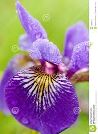 Iris Flag Wild Blue Flag Iris Stock Image Image Of Iris Wild 12864017