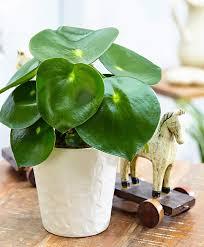 Buy House Plants Intenz Home Peperomia U0027raindrop U0027 Bakker Com Garden U0026 Plants