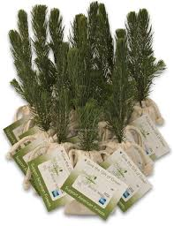 evergreen tree seedlings make evergreen tree holiday party favors