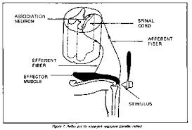 Knee Reflex Arc Psych 200 Unit 5 Module 4