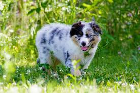 images of australian shepherd cutest australian shepherd puppy ever youtube