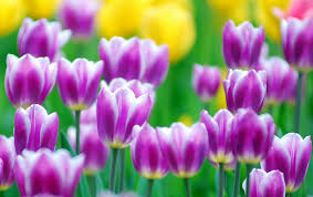 Flower Screen Backgrounds - tulip flowers new full screen hd wallpapers hd wallapers for free