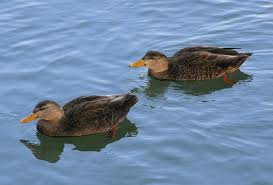 duck length depends on other guys wired