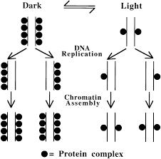 chromosomal inheritance of epigenetic states in fission yeast