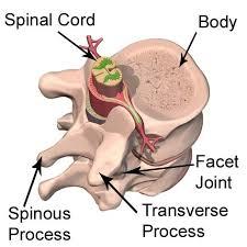 Anatomy And Physiology Human Body Types Of Bones The Skeleton U0026 Bones Anatomy U0026 Physiology