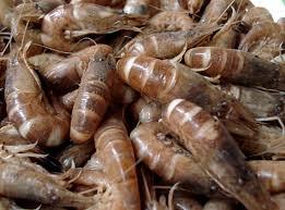 cuisine crevette recette cuisson des crevettes grises vivantes