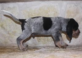 bluetick coonhound price pedigree for white deer blue casey x schnells maxima u0027s pups