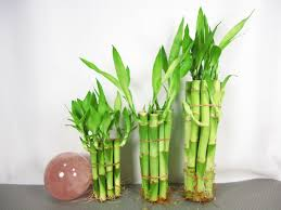 Plant For Desk Articles With Small Bamboo Plant For Desk Tag Bamboo Small Plant