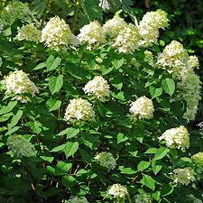 limelight hydrangea tree for sale fast growing trees