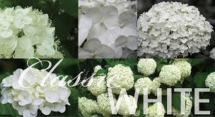 White Hydrangeas Hydrangea Macrophylla White Mophead Advanced Mail Order Online