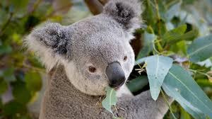 eucalypt san diego zoo animals u0026 plants