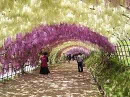 wisteria tunnel the most fragrant heavenly place on the earth