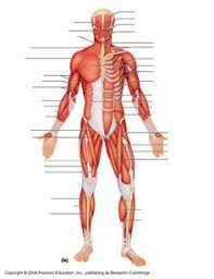 Human Anatomy Quizes Muscle Anatomy Quiz Google Search Anatomy Reference