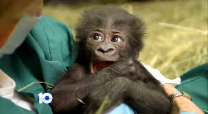 Columbus Zoo Lights Hours by Columbus Zoo U0027s New Baby Gorilla Was Years In The Making Wbns