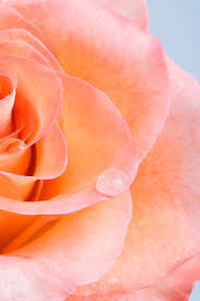 shades of orange colour 14 rose color meanings what do the colors of roses mean for