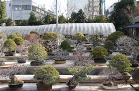 our visit to mr kimura omiya bonsai village and mr morimae