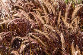 purple grass monrovia purple grass