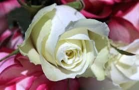 bouquet de fleurs roses blanches images gratuites fleur pétale floraison romantique flore