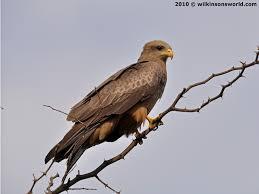 bird of the week u2013 week 51 yellow billed kite wilkinson u0027s world