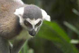 free photo lemur animal madagascar free image pixabay